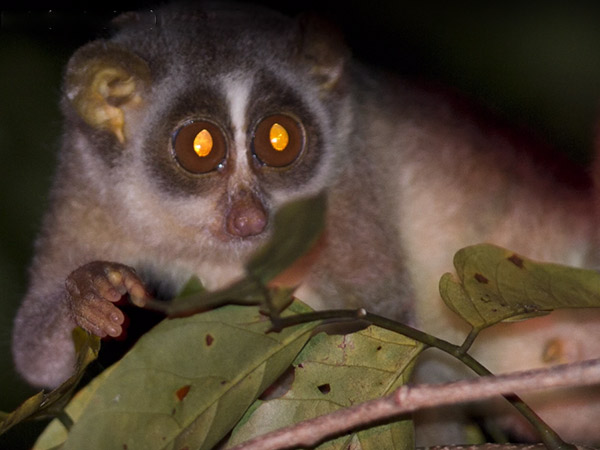 A Few Days Spent With Slender Lorises Experience Of Sa Raghunatha