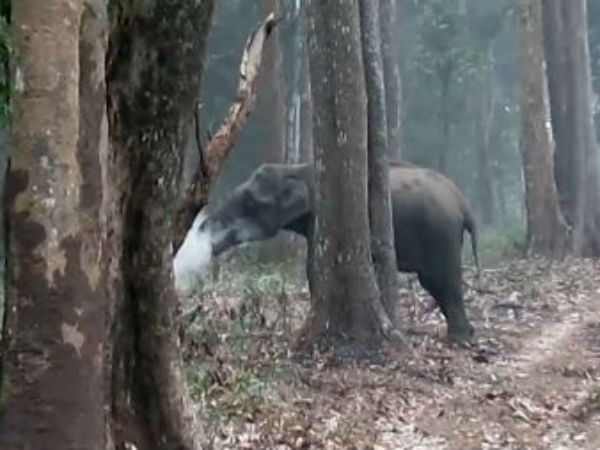 video goes viral while elephant smokes, It is true?