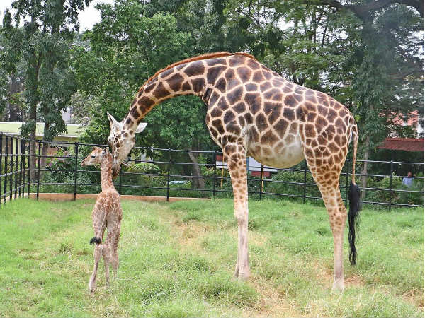 Finally, Bannerughatta gets a Giraffe!