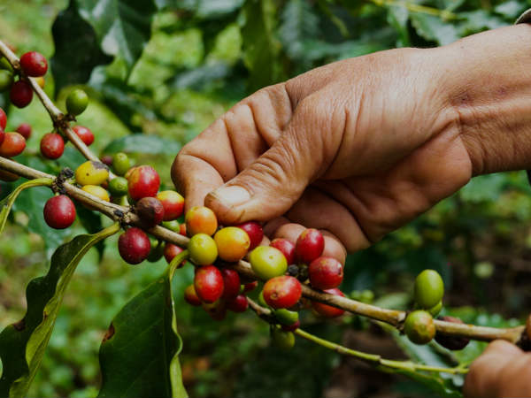 Be A Owner Of Coffee Estate in Sakleshpur