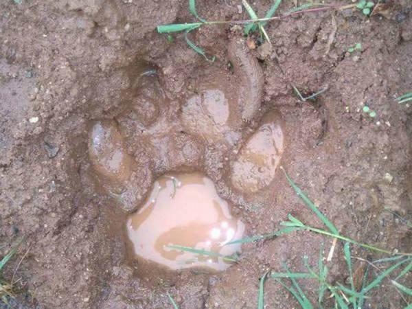 Tiger Foot Prints Found In Yariyur