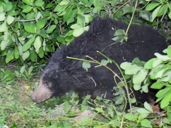 Gundlupet Highway Blocked After Bear Found