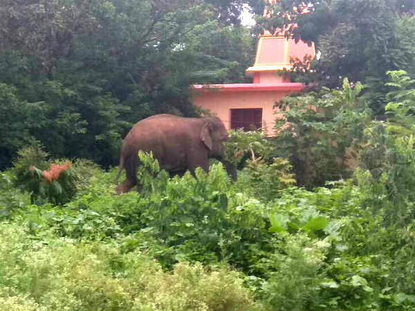 An Elephant came from forest to haliyala today