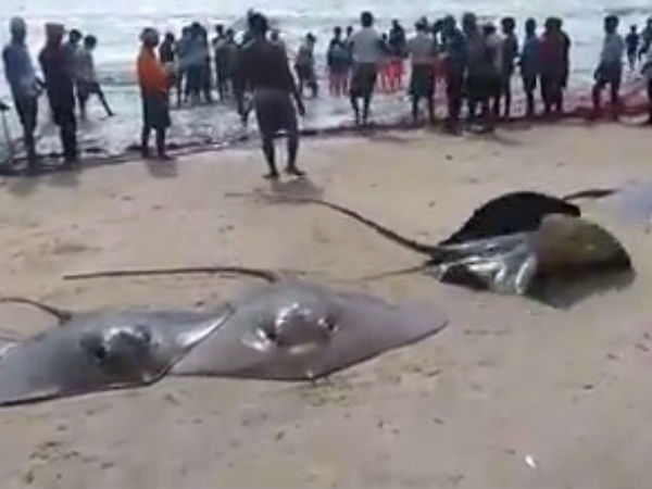 Bumper catch of Stingray fish in Kundapur