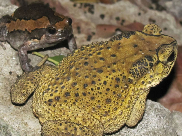 Smuggling of giant frogs from coastal districts to Goa