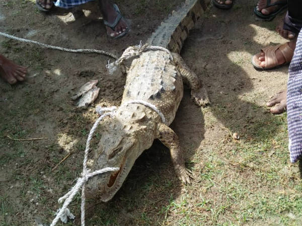 Fishermen hold crocodile in Marched village