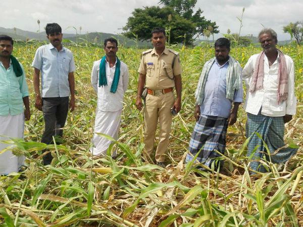 Chamarajanagar Wild Pigs Are The New Headache To The Farmers Of Bandipur