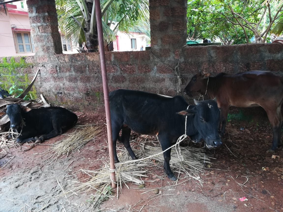 Police seized cows in Cinematic style in kumta