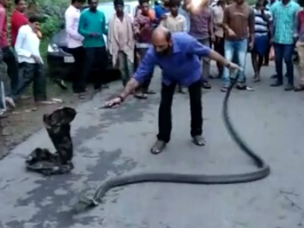 13 Feet King Cobra Rescued Released To Charmadi Ghat By Snake Joy