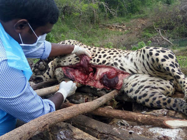 Ankola : Leopard found dead in well