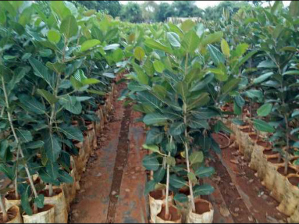 BDA plans for 50k plantation in the city