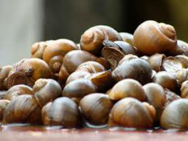 Snails Missing From Fields And Kitchens Of Tulunadu