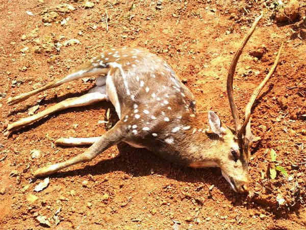 Deer falling from 30 feet height and died