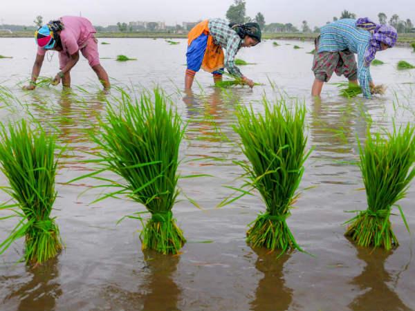 Good Rain In Kodagu Agriculture Activities Resume