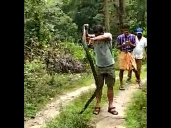 King Cobra rescued and released in Belthangady