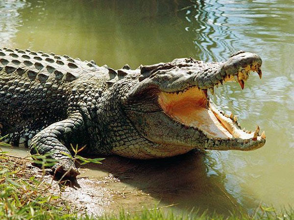 Angry Mob Slaughtered 292 Crocodiles In Indonesia In Revenge Attack