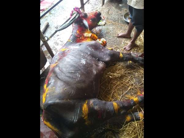 Bull of Shirasi died today morning