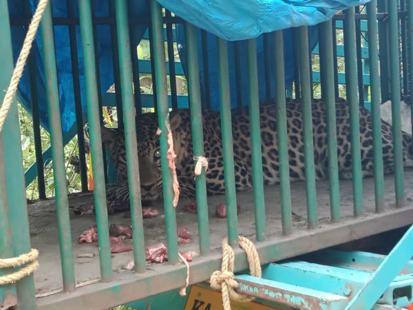 Leopard rescued in H.D.Kote, Mysuru