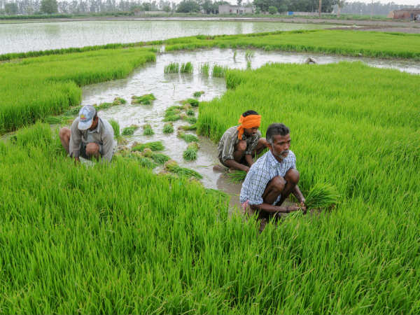 cabinet approves hike 200 Rs in msp for paddy