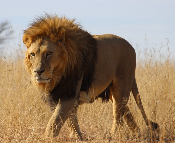 three poachers eaten by lions in south africa