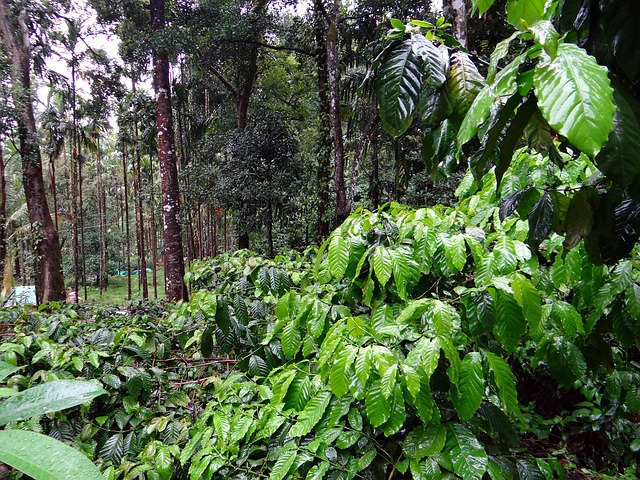 Fungal Disease Threat To Coffee Plants In Coffee Land Of India