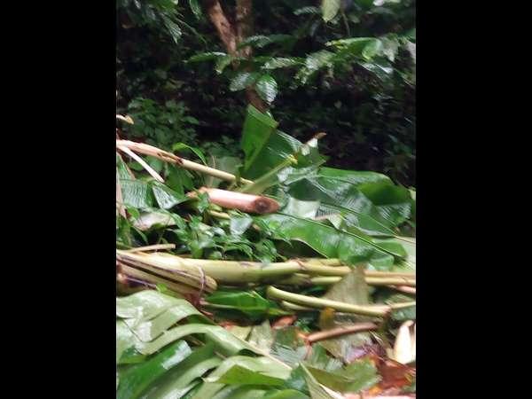 Crops Destroyed By Wild Elephant Attacks In Guttihalli