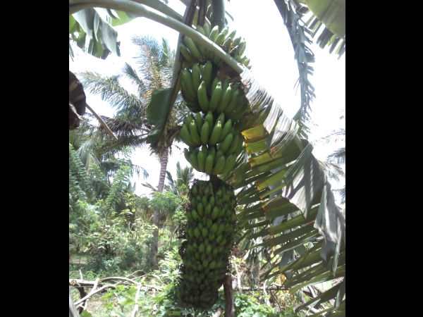Mysuru: 2 banana bunches in a single plant creates curiosity among people