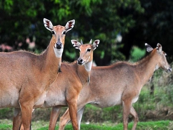 Eeland black buck is the new guest of Bannerughatta park