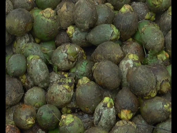 Due to persistent rainfall, nut crops affected the disease