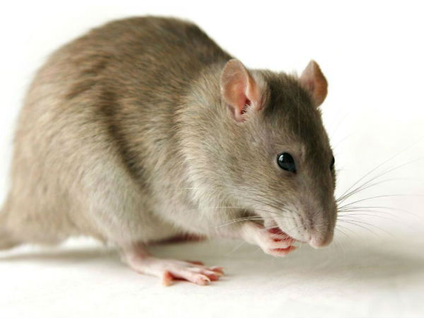 Rat found in Indira canteen food