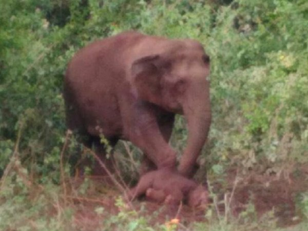 Baby elephant died emotional moment in Sakleshpur