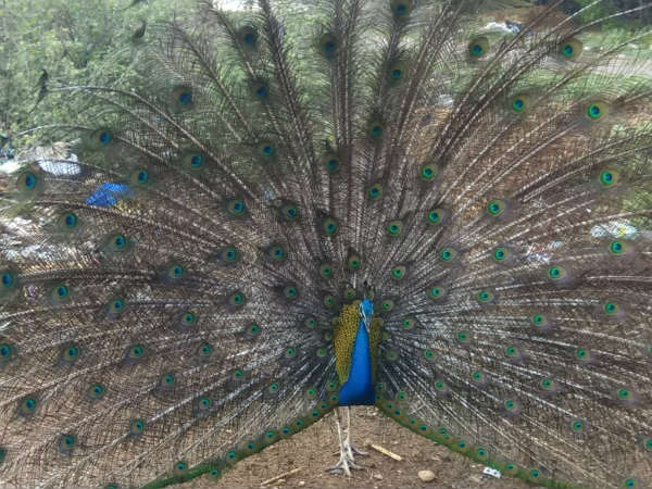 Peacock In Biluwala Village Does Not Want To Go To The Forest