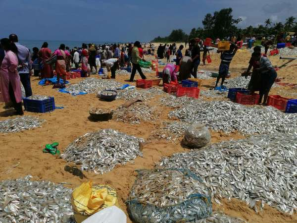 There was a mass of fish in the Kapu beach in Udupi
