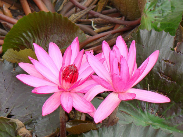 Love letter series: I will come to give you the lotus flower