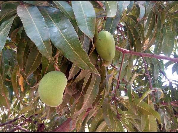Hindu Festivals And Mango Tree Leaves