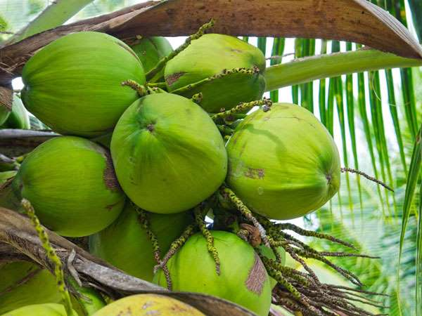 Childhood Memories Of A Village Boy Who Once Theft Coconut