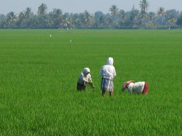 State govt to purchase Paddy on MSP as Rs2000 per quintle
