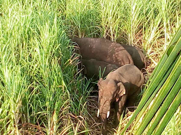 Wild elephants are coming to the land of Mandya farmers
