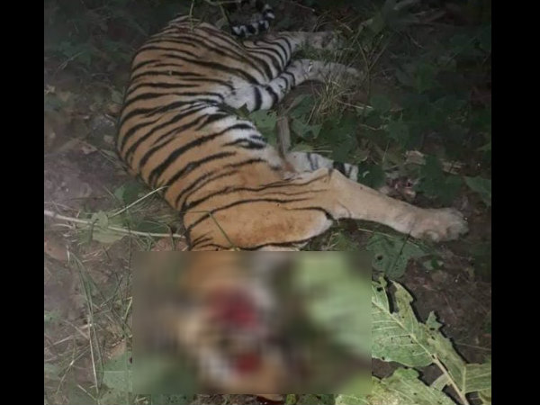 Villagers run over tractor on Tigress in Uttar Pradesh