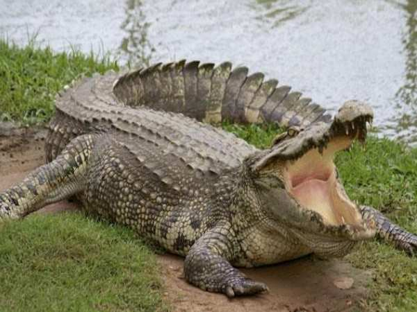 Man attacked by crocodile in Kali river