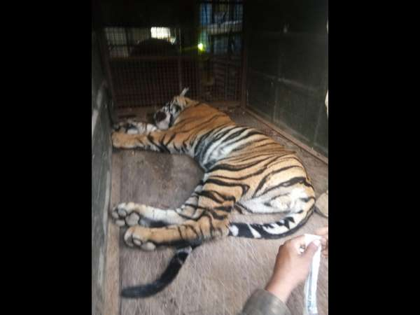 Forest department staff has rescued the tiger