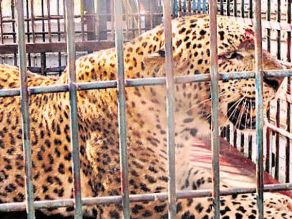 Two Leopard captured by forest department in Udupi