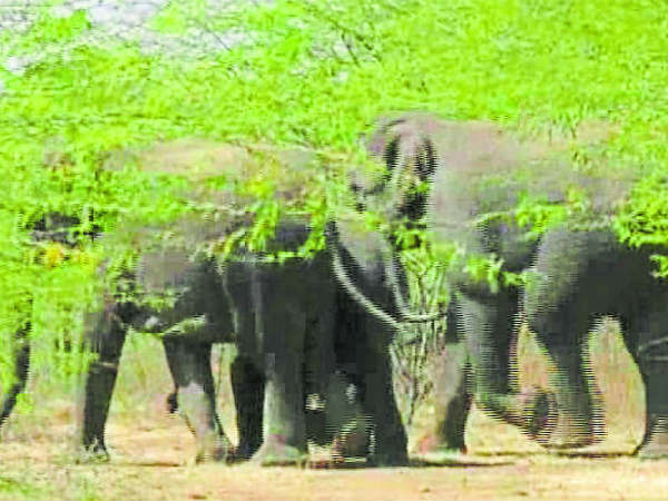 3 Elephants have appeared at Mangala