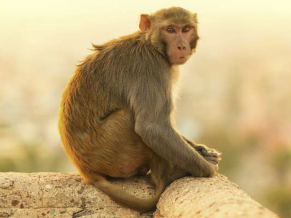 Still now monkey death is continued in Udupi