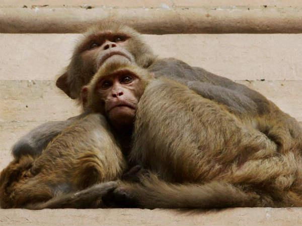 ಉಡುಪಿ ಜಿಲ್ಲೆಯಲ್ಲಿ ಹೆಚ್ಚಿದ ಮಂಗಗಳ ಸಾವಿನ ಸಂಖ್ಯೆ: ಆತಂಕ