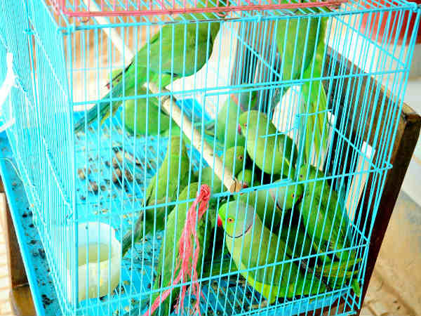 Mangaluru: Man arrested for selling wild Parrots