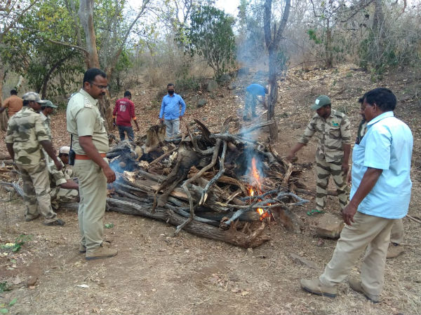 cauvery wildlife sanctuary poachers killed tusker stoled its both ivories