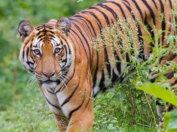 Forest department officials captured tiger in HD Kote talluk