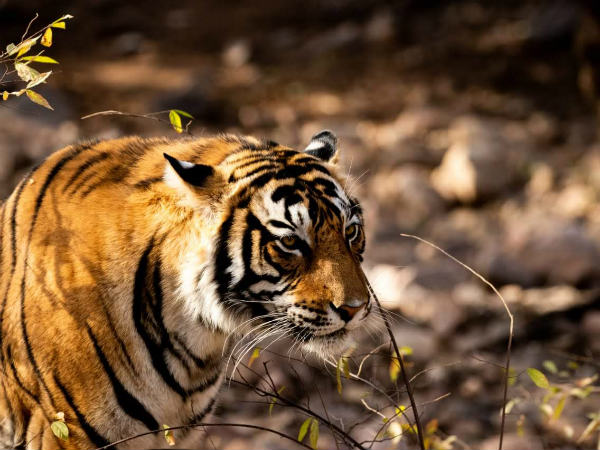 Surgical Strike By Tiger At Ranthambore Wildlife Reserve
