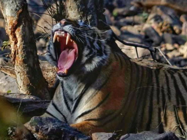 Interesting Story Of Ranthambore Forest Queen Tigress Arrow Head